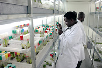 Photo of Bio-tech laboratory for          banana research, Kawanda, Uganda.